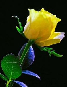 Beautiful Rose Flowers, Pretty Roses, Amazing Flowers, Beautiful Flowers, Wallpaper Nature Flowers, Flowers Nature, Lavender Roses, Yellow Flowers, Roses Only