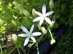 Flower Essence Gallery: Star of Bethehem