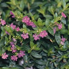 Mexican Heather, also called false heather or elfin herb (Cuphea hyssopifolia) - to 12 inches, This shrubby house plant forms a dense plant with small, glossy, dark-green leaves. Its branches are lined with small lavender-purple flowers. Colorful Plants, Large Plants, Colorful Flowers, Purple Flowers, House Plants Decor, Plant Decor, Heather Plant, Wholesale Plants