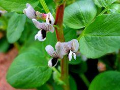 Fotografia - Comunidad - Google+Habas en flor.