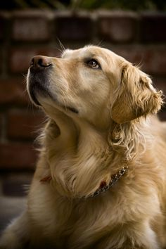 This is a great photo of a Golden retriever by Joshua Ooi on 500px.  It's so soft and warm.  #puppied
