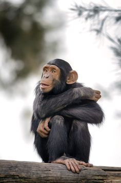Chimpanzee / Amber Eyes by Omer Nave Primates, Mammals, Animals And Pets, Baby Animals, Funny Animals, Cute Animals, Wild Animals, Beautiful Creatures, Animals Beautiful