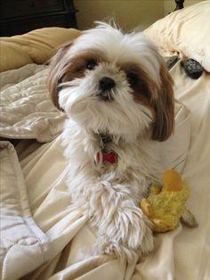 Bentley with his Ducky... Shih tzu dog