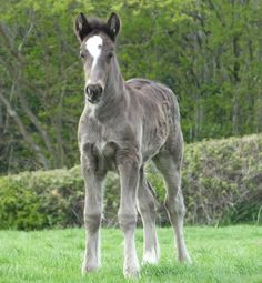 Farwinds Knight Rider ( Farwinds stud ) Welsh part bred foal @ 1 month old
