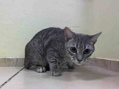 SAFE! nyc TO BE DESTROYED May 9'14 ** Previous owner states: My Bella is a very sweet and loving cat. Please help save her life now!!! * BELLA. ID # is A0998823.Female gray tabby domestic sh. 1 YEAR 4 MONTHS old. OWNER SUR  I came in with Group/Litter #K14-176289.