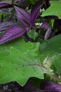 Strobilanthes dyerianus a de grandes feuilles pourpres et Solanum quitonense est une plante très «structure».