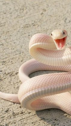 Pretty Snakes, Beautiful Snakes, Cute Reptiles, Reptiles And Amphibians, Baby Animals, Cute Animals, Snake Wallpaper, Snake Photos, Colorful Snakes