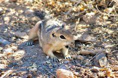 https://flic.kr/p/ZQTthS | What? | Harris's ground squirrel