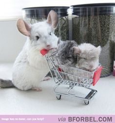 In The Market For Chinchillas?