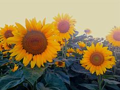 Warm Summer Sunflower Photo,Honey Bee Flower Landscape,Sun Backlit Flower Peace,Fine Art Nature Photography,Hippie Sunflower Photography on Etsy, $25.00