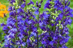 Pompás Lobélia (Lobelia × speciosa) gondozása, szaporítása Blue Flowers, Marvel, Plants, Plant, Planets