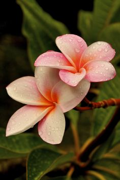 Frangipani. The smell of these takes me back to living in the Caribbean. Sigh.....