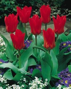 SHIPS IN FALL Scarlet blooms glow in the sun and open to reveal a yellow-ringed black center. Blooms around the same time as daffodils. Garden Bulbs, Planting Bulbs, Garden Plants, Yellow Rings, Black Rings, Daffodils, Tulips, Burpee Seeds, Cold Treatment