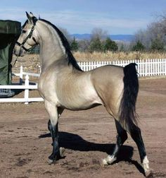 Grulla (Black Dun) - result of a black base coat horse that carries the dun dilution gene factor which results in a body coat of silver to tanish-gray (mouse-colored) hair with a dark dorsal stripe and darker mane, tail, and legs; often has some shading on the face, neck, ears, and legs