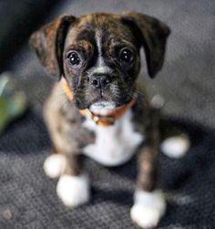 Boston terrier/boxer mix