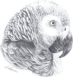 African Grey by RazerBlade07.deviantart.com on @deviantART