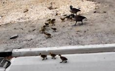 Daily Cute: Incredibly Large Family of Geese Enjoy a Stroll