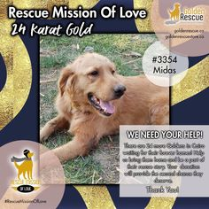 "Our 24-Karat GOLD fundraising initiative is well underway and we are VERY grateful to the many people who have donated to help so many Goldens. We thought we would feature some of the Goldens that we hope to bring to Canada. And what better way to share than to have them tell you a little bit about themselves, in their own words. Let's meet Midas #3354. ""My name is Midas and I'm talking to you from Cairo. I hope I have the 'Midas touch' to get me to Canada. I'm calm, kind, and friendly but I… We Need You, Very Grateful, Talking To You, Cairo, Fundraising, Two By Two, Told You So, Bring It On, Canada"