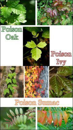 How do you identify poison ivy