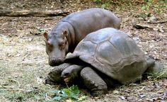 """A baby hippopotamus cozies up to his adopted """"mother"""" — a 120-year-old giant tortoise living in a Kenyan sanctuary."""