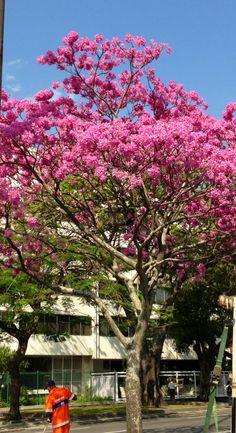 Flowers/ trees - Brazilian Ipê rosa.