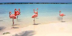 a picture of flamingos on renaissance island aruba