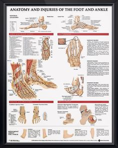 Anatomy and Injuries of the Foot and Ankle poster shows medial, frontal, lateral, and plantar views as well as a cross section. Muscles chart for doctors and nurses.