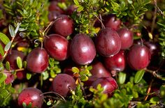 Cranberries: In terms of minerals, it contains calcium, magnesium, iron, phosphorus, sodium, potassium and zinc. It also contains vitamins like thiamin, riboflavin, niacin, vitamin B-6, E (alpha tocopherol) and vitamin K (phylloquinone). Cranberries are members of the Ericaceae family, and is native to NAmerica.