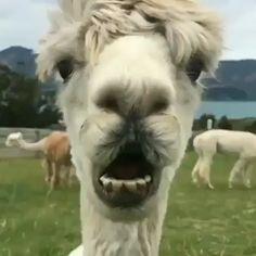 Credit ig shamarra alpacas Thank you very Alpacas, Alpaca Funny, Cute Alpaca, Cute Animal Videos, Funny Animal Pictures, Funny Horse Videos, Images Lama, Cute Baby Animals, Funny Animals