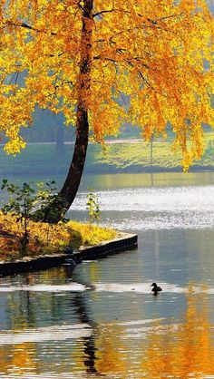 Autumn, Lake with golden tree Beautiful Places, Beautiful Pictures, Nature Pictures, Autumn Lake, Belle Photo, Fall Halloween, Wonders Of The World, Seasons, Painting
