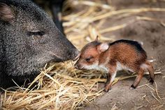 Collared Peccary Mom and Baby