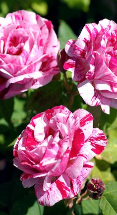Rosa Mundi. Category: Old Roses.   Bred By Prior to 16th Century   Colour Crimson striped with white   Flower Type: Semi-double, Hardy