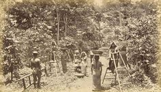 Arabica coffee picking process ,  El Salvador Circa 1880, probable location Sonsonate, Izalco