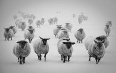 Winter Sheep by Iris Photo