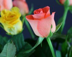 Roses, roses..