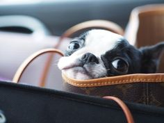 Adorable Face of a Boston Terrier Puppy in a Bag