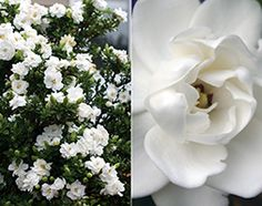 Gardenia 'Crown Jewels' With its pearly white, waxy blooms, 'Crown Jewels' will look just lovely growing in the garden. And don't underestimate the fragrance.its far too powerful for the home. Gardenias, Garden Shop, Crown Jewels, Fragrance, Bloom, Plants, Royal Crown Jewels, Plant, Perfume