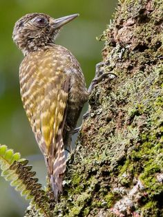 White-spotted Woodpkr, Veniliornis spilogaster: BR/ AR/ PY/ UY: photo by André Luiz Silva on 500px // 500px