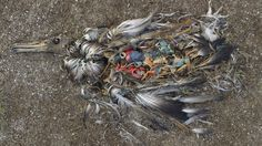 A dead young albatross by photographer Chris Jordan.  Stark reminder for me to reduce plastic use and recycle more.