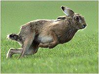 A running hare