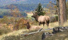 Elk Art - Return Of The Elk Fine Art Print by Elk Artist Dale Kunkel