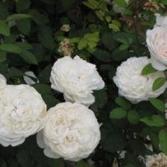 Rosier wincester cathedral. Magnifique rosier blanc pur, boutons roses