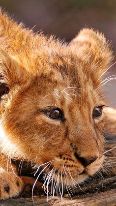 lion, cub, lying, fear, muzzle