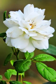 Pax Rose, Semi double white rose, Strong Fragrance