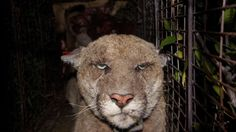 """(NPR) Why did the mountain lion cross the freeway?  To breed.  Oct 19 2014 photo:  P22, a 4-year-old male mountain lion known as the """"Hollywood Lion,"""" is  known to traverse the hills in and around Los Angeles. He is seen here recaptured by the National Park Service in March after being exposed to rat poison."""