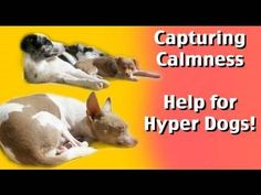 Capturing Calmness- how to train calmness in dogs- dog training (+playlist)