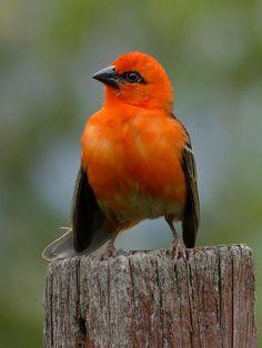 Red Fody (Foudia madagascariensis) Male on a fence post Orange Bird, Blue Bird, Exotic Birds, Colorful Birds, Bird Pictures, Creative Kids, Bird Feathers, Beautiful Birds, Make You Smile