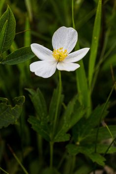 Northern Anemone - Anemone parviflora | Photo by Jacob W. Frank | Rocky Mountain National Park. (pinned by haw-creek.com)
