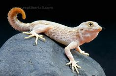 Scorpion Tailed Gecko - Paradise of birds