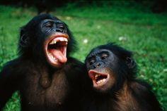 """Gli sbadigli """"contagiosi"""" dei bonobo"""